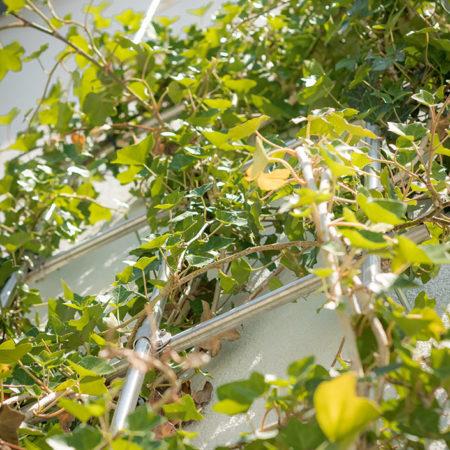 Rankgitter mit wachsender Efeu-Pflanze an einer Hauswand